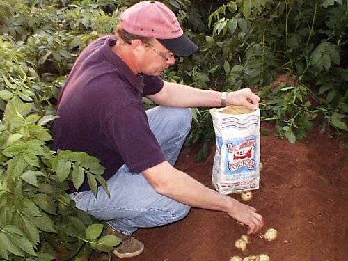 "Potatoes can only be reproduced for a certain number of generations. All seed on our farm has to be looked over or ""rogued"" for: diseased plants which may spread and affect growth/yield, nutrient deficiencies, damage to the plants from wind, rain, drought, insect pests, and weed persistence."
